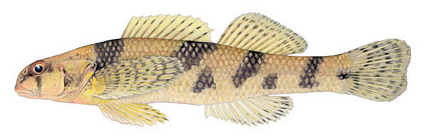The Maryland darter, which grows to 2 or 3 inches long, was last seen en masse in the mid-1960s and not at all since 1988. (Photo by David Neely, Courtesy of Maryland Department of Natural Resources / October 15, 2009)